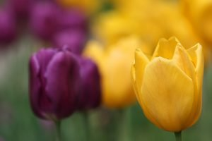 purple-and-gold