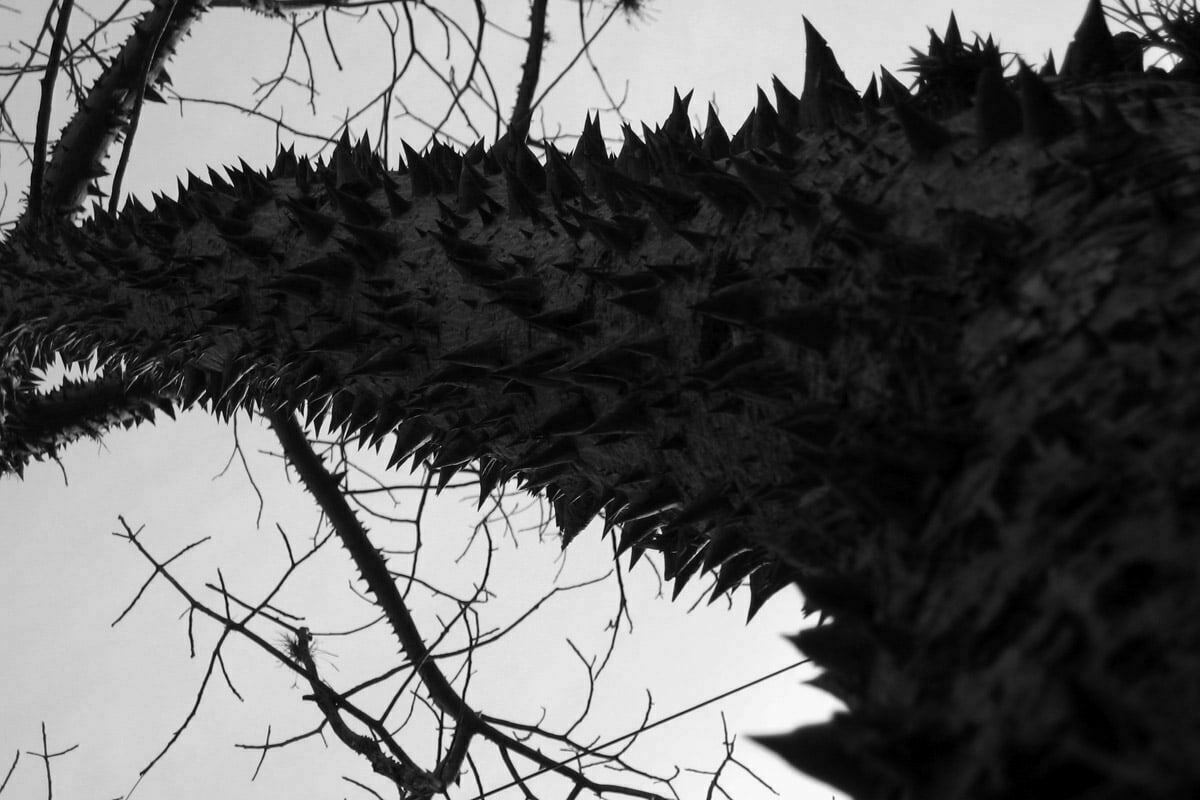 thorn-tree