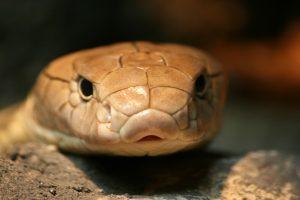 attentive-snake