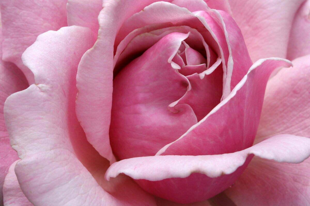 cemetery-rose