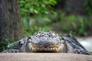 crocodylia