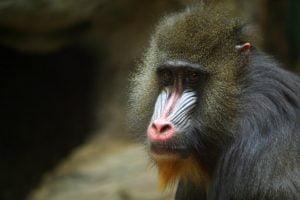 expressive-primate
