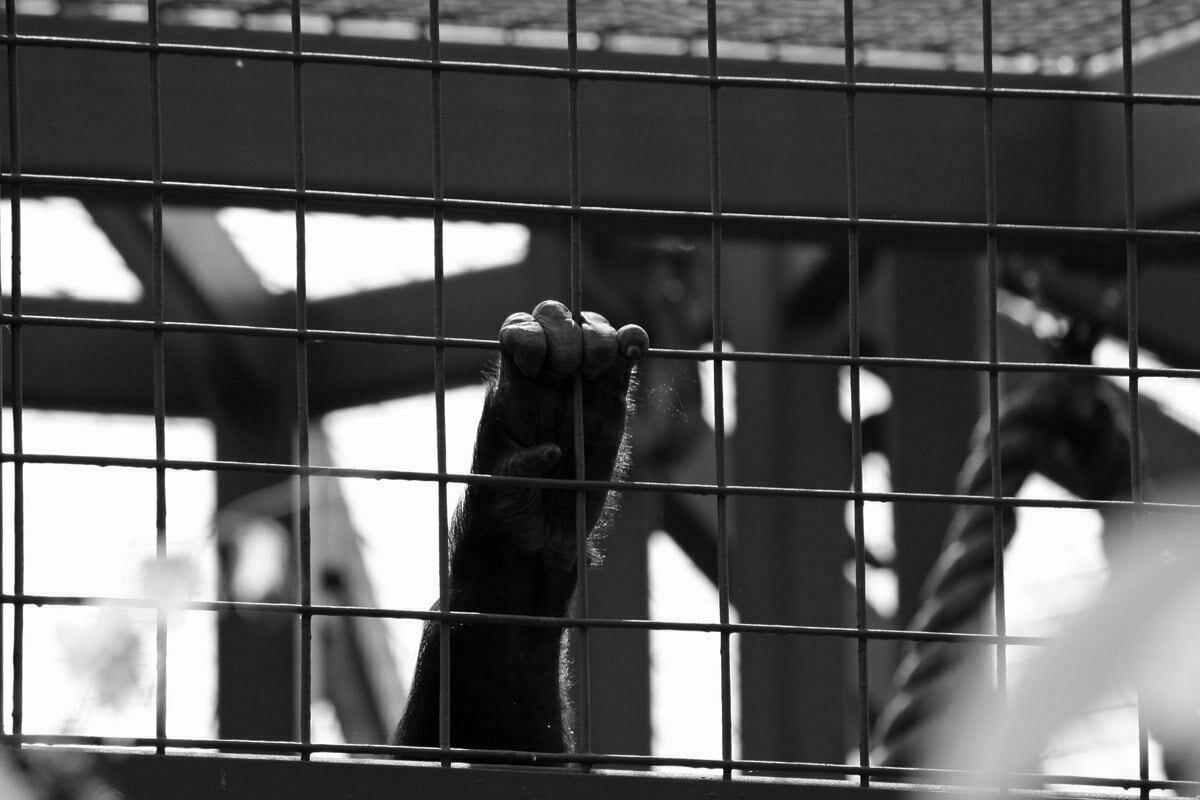 gorilla-hand-on-bars