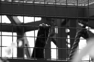 gorilla-hand-on-bars1