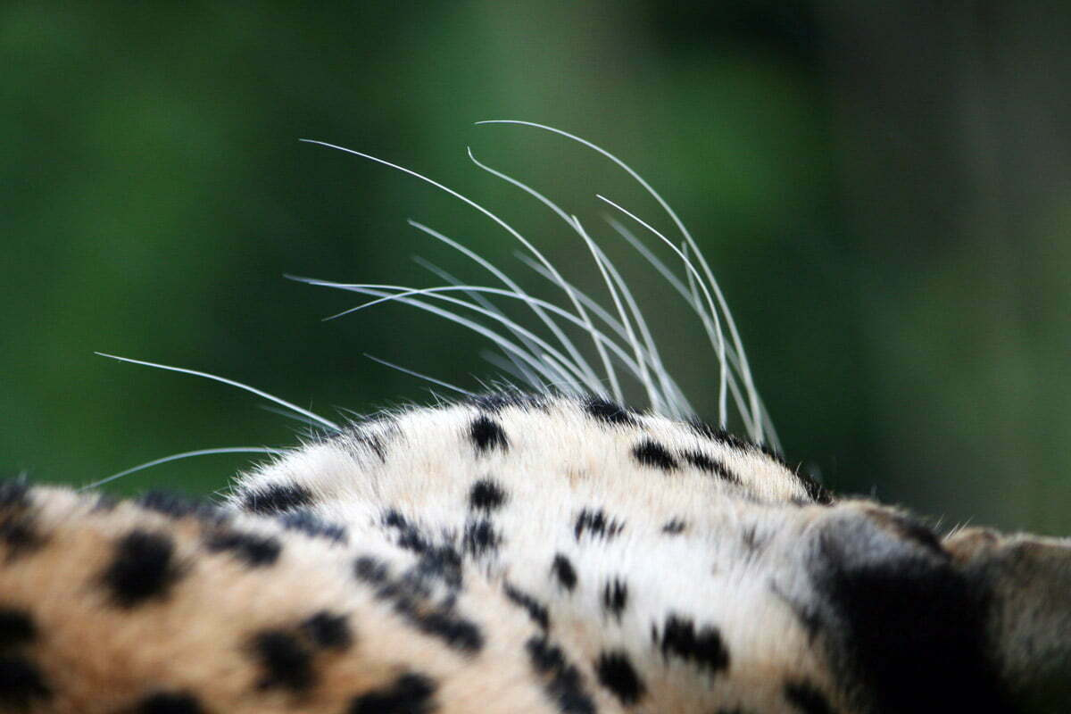 leopard-whiskers