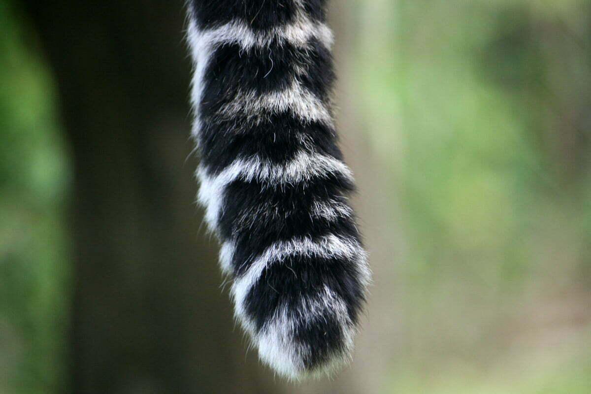 leopardtail