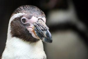 penguin-portrait