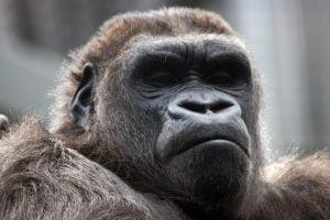 portrait-of-a-gorilla