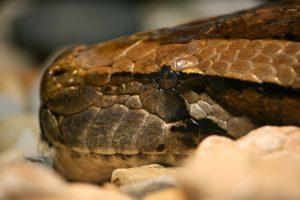pythonhead