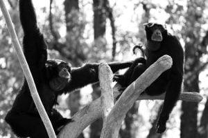 siamang-gibbons