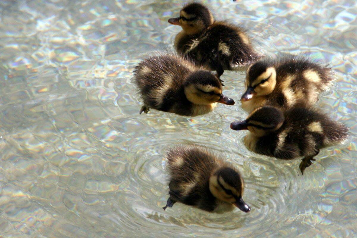 duckling-huddle