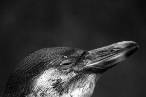 penguin-glare