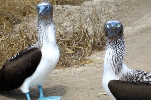 curious-blue-footed-boobys