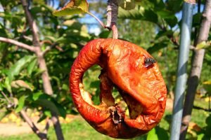 apple-rotting-on-the-tree