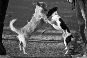 little-dog-fight