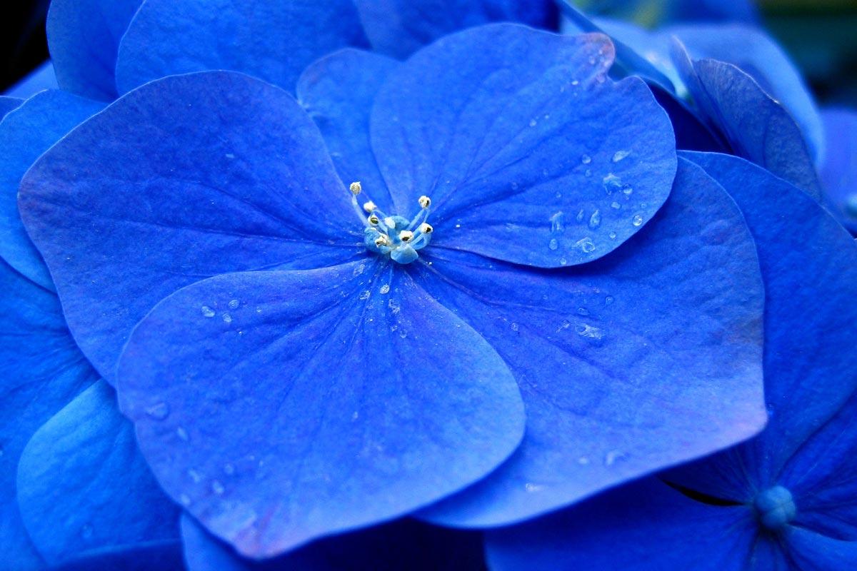 A close-up of a bright blue Hydrangea flower