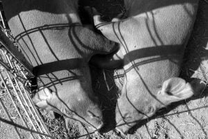 A black and white photo of two pigs lie asleep with their bodies opposite each other.