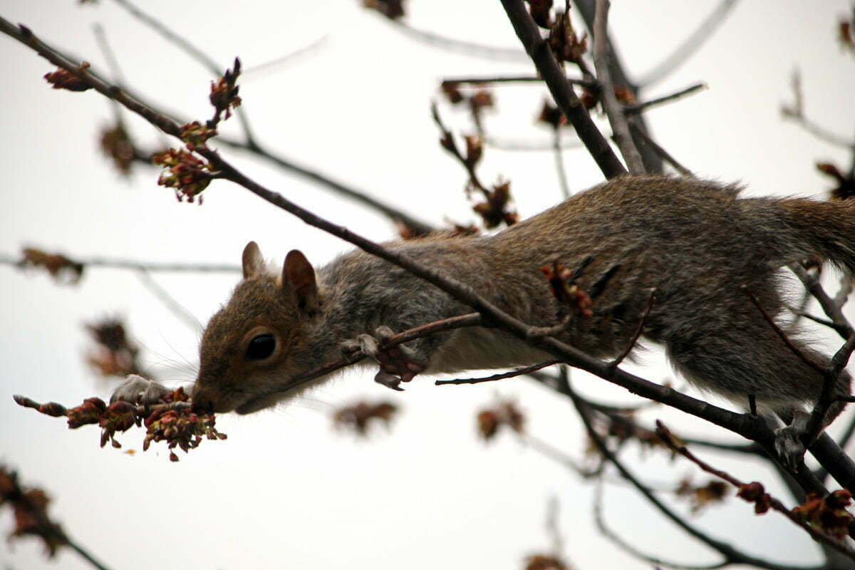 A young squirrel reaches for some tree buds.