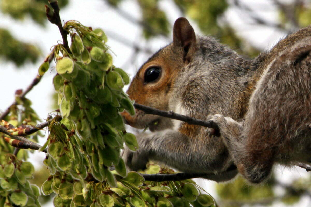 A flexible squirrel balances on a tree limb to obtain a well-earned snack.