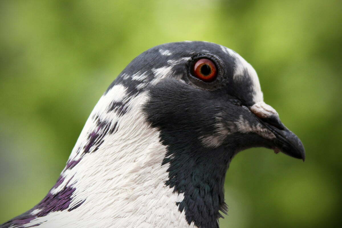 A close portrait of a black and white pigeon with red eyes in Dupont Circle.