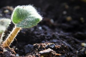 A closeup of a small fuzzy plant as it struggles to grow in the soil.