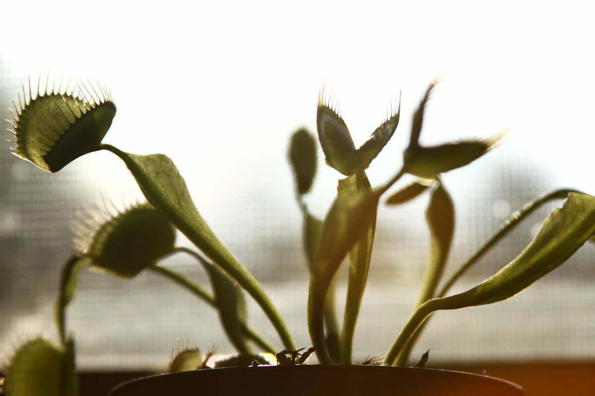 A closeup of a few stalks of a venus fly trap sitting in the window.