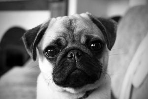 A close up picture of Pepper, the small and expressive pug.