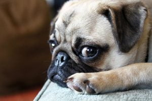 Pepper the pug looks over at the camera with tired eyes.