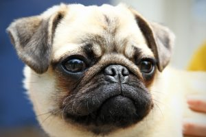 Pepper the adorable pug looks to the horizon with a determined stare.