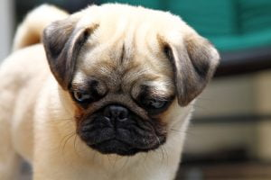 Another close up picture of Pepper, the small and expressive pug, looking down at a paper cup.