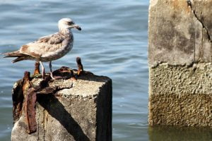 A lone seagull stands on a former pier pillar on the Embarcadero of San Francisco, California.
