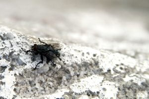 A large black fly sits rubbing it's legs together in Luray, Virginia.