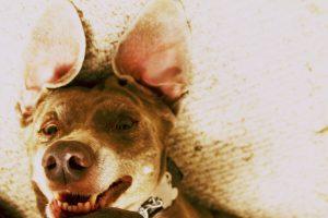 Cloe the Weimaraner photographed upside down looking like a bat with big dog ears.