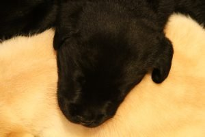 A young black lab puppy rests his head on the back of a yellow lab puppy.