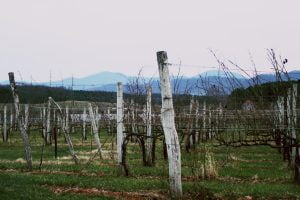 A view of many growing grapes at the Afton Mountain Vineyards near Charlottesville, Virginia.