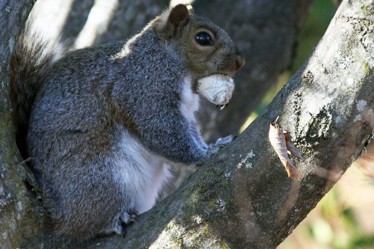 A plump squirrel perched on in tree holds a large nut in its mouth.