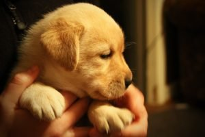 A small yellow lab pup is held in someone's hands.
