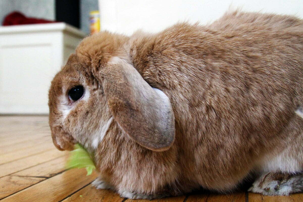 A large brown bunny nibbles on some cabbage.