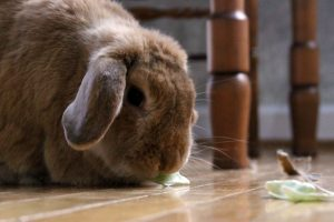 A large brownish bunny named Nora looks at some more cabbage on the floor.