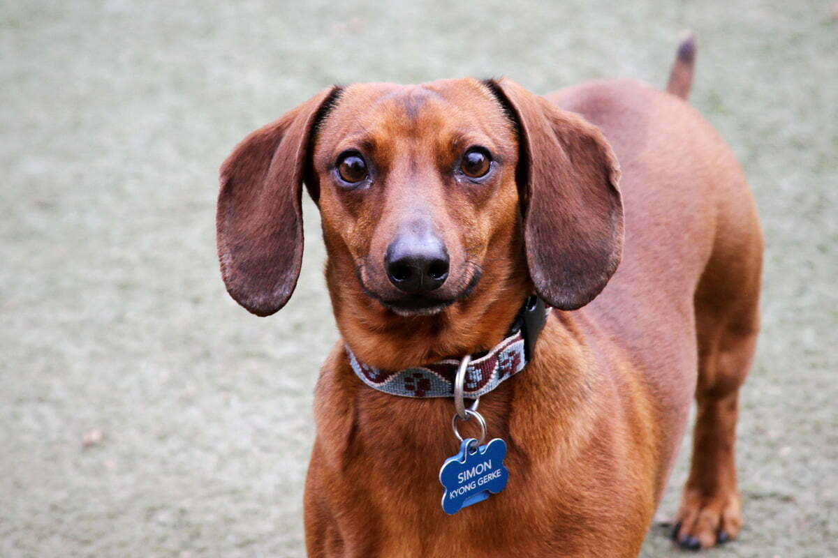 A weiner dog named simon looks directly into a photographer's lens for a portrait at the Dupont Circle dog park.