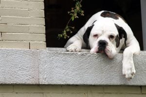 Romo, the American Bulldog Mastiff, who lives in Adam's Morgan is a popular figure for always hanging outside his window on Calvert Street.