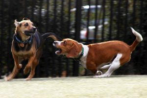 Two dogs making funny faces while in the midst of a race around the Dupont Circle dog park.