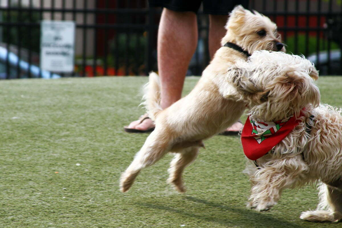 Two small dogs tussle in the park.