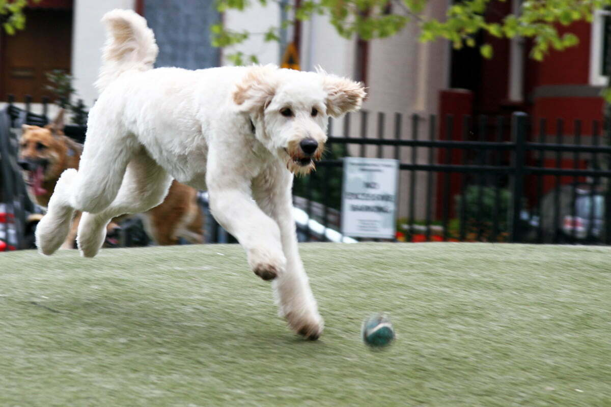 A large white dog chases after a bouncing tennis ball at the Dupont Circle dog park.