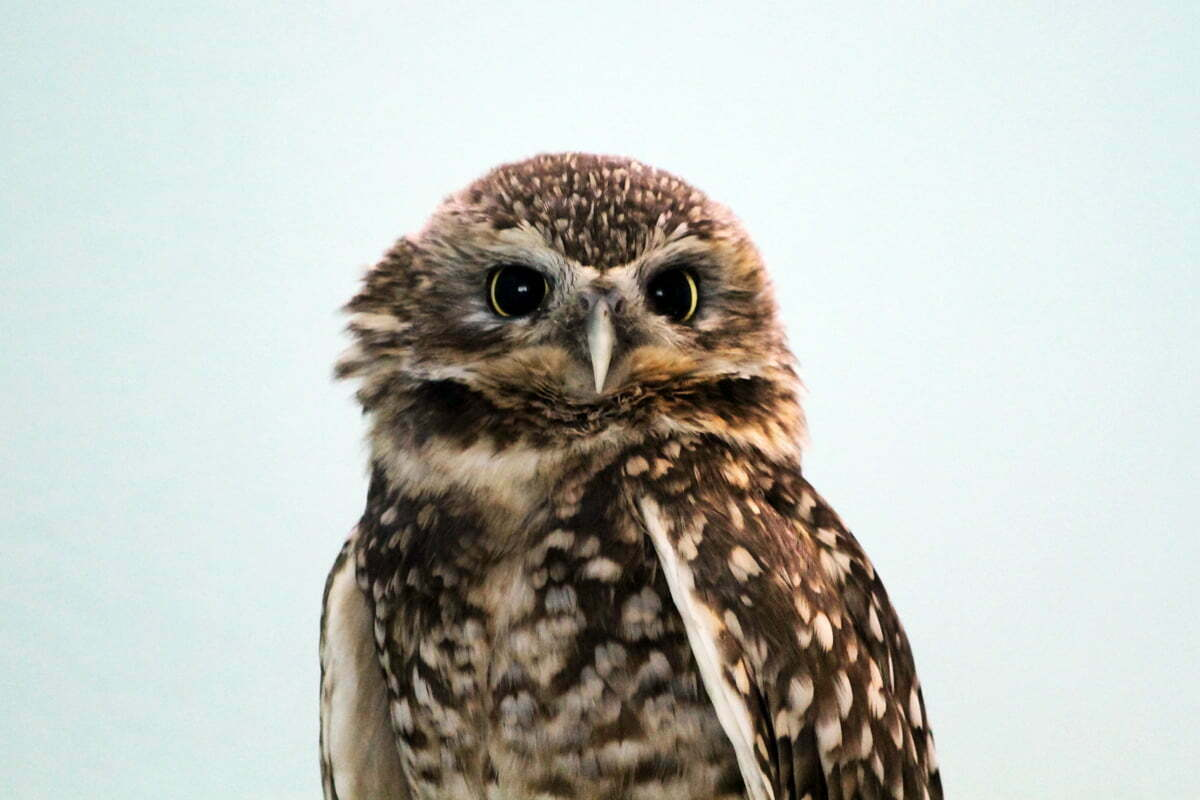 A burrowing owl with ruffled neck feathers stares at the camera.