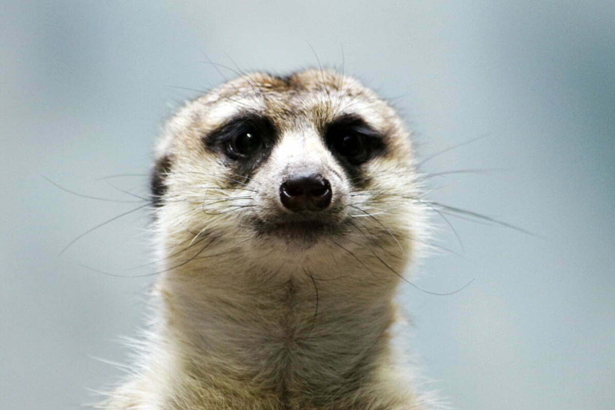 A meerkat looks directly into the camera for a stark portrait.