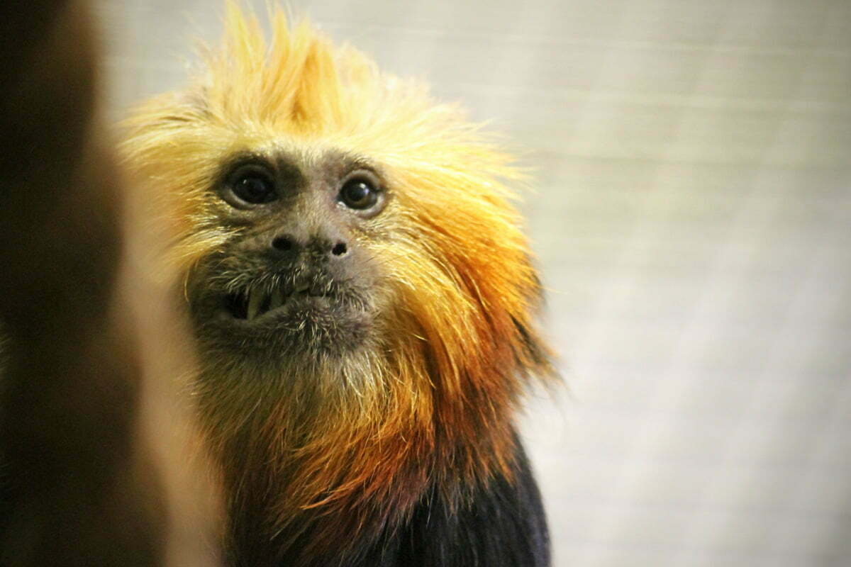 A close-up photo on the face of a golden-headed lion tamarin monkey who is baring his teeth in a grimace.
