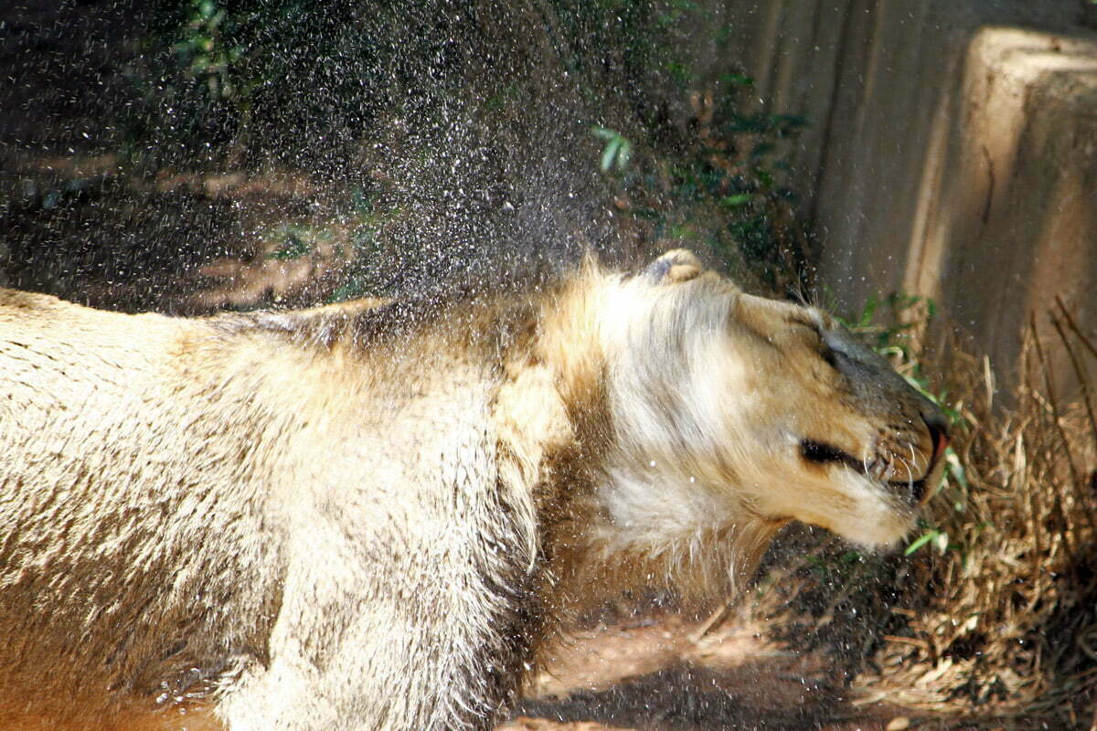 A young lion shakes water off after taking a dip, sending droplets everywhere.