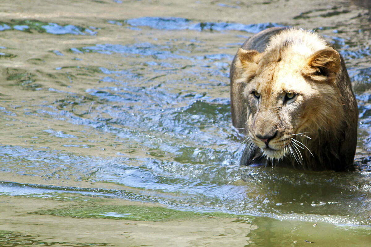A young lion at the National Zoo in Washington DC wades through the shallow water.