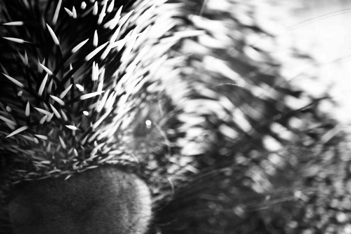 A close-up black and white photo of a prehensile-tailed porcupine (Coendou prehensilis) with his short pointy spikes.